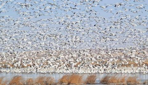 Many thousands of birds descend on Freezout each year